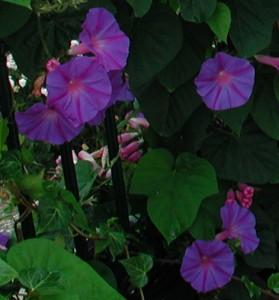 Prunkwinde Ipomoea tricolor