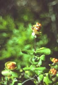 Sagres 1980 Trockenpflanzen 4